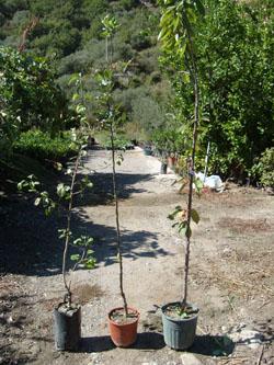 Vivai e piante leonti for Vivai piante da frutto